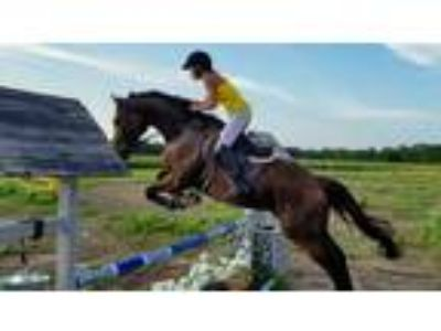 2020 RRP Eligible Gorgeous 6 Yr Old 163H Thoroughbred Gelding