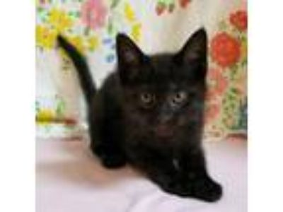 Adopt Bearcat a All Black Domestic Shorthair / Domestic Shorthair / Mixed cat in
