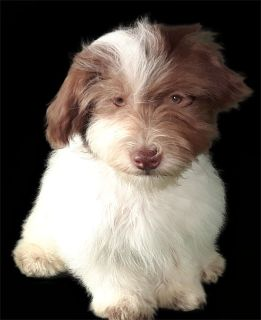 Havanese PUPPY FOR SALE ADN-79008 - AKC Chocolate Havanese boy white w brown   Marco