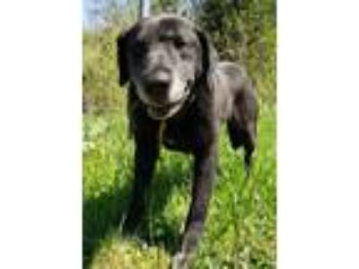 Adopt Troy a Black Labrador Retriever