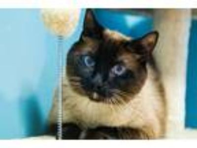 Adopt Chiquilin a Siamese / Mixed cat in San Diego, CA (25804522)