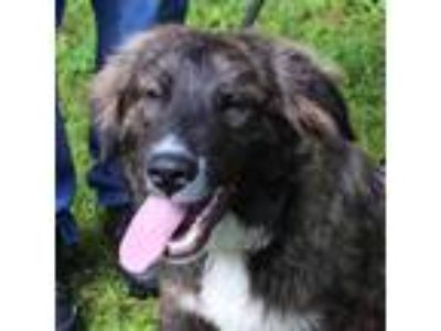 Adopt CAMMIE a Brindle - with White Newfoundland / Hound (Unknown Type) / Mixed
