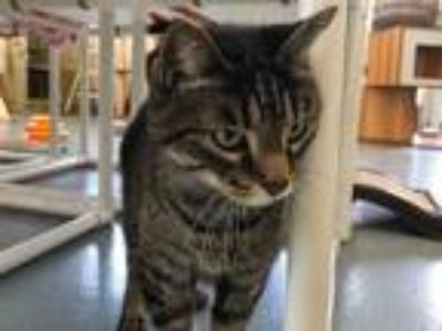 Adopt Gato a Domestic Shorthair / Mixed (short coat) cat in Cumberland