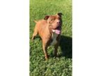 Adopt Brady a Pit Bull Terrier / Mixed dog in Davie, FL (23785515)