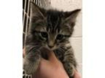 Adopt Cuddle Bug a Domestic Medium Hair, Domestic Short Hair