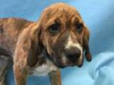 Adopt Bingo a Tan/Yellow/Fawn Hound (Unknown Type) / Mixed dog in Golden Valley