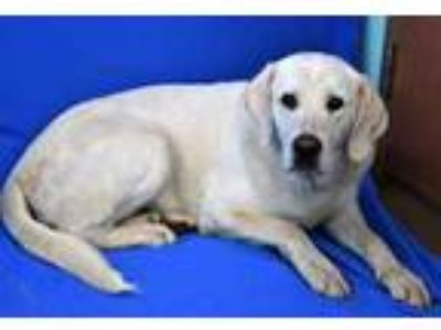 Adopt (found) Tubbs a Tan/Yellow/Fawn Labrador Retriever / Mixed dog in Cabot