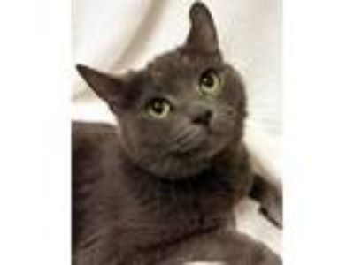 Adopt AValon- RC PetSmart a Gray, Blue or Silver Tabby Domestic Shorthair (short
