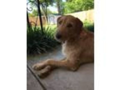 Adopt Sully a Red/Golden/Orange/Chestnut Golden Retriever / Airedale Terrier /
