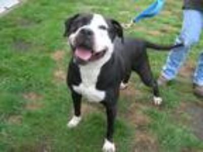 Adopt Lulu a Black - with White American Staffordshire Terrier / Mixed dog in