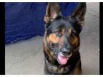 Adopt Chico a German Shepherd Dog
