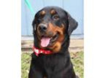 Adopt Luna 7 JuM a Black Rottweiler / Mixed dog in Von Ormy, TX (23703374)