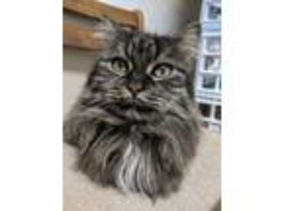 Adopt Angie a Brown Tabby Domestic Longhair (long coat) cat in Huguenot