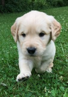 Golden Retriever PUPPY FOR SALE ADN-81307 - AKC Golden Retrievers