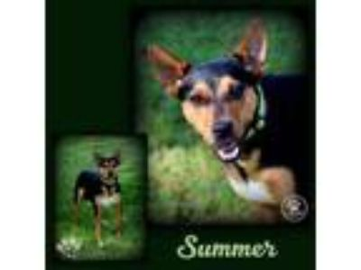 Adopt Summer a Miniature Pinscher, Cattle Dog