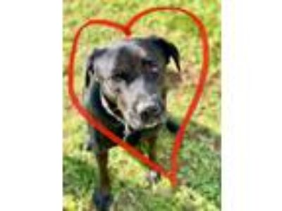 Adopt Donney a Black Labrador Retriever / Mixed dog in Alpharetta, GA (23094732)