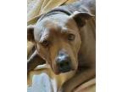 Adopt Libby a American Staffordshire Terrier, Shar-Pei