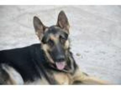 Adopt Otto a German Shepherd Dog / Mixed dog in San Diego, CA (17629401)