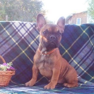 French Bulldog PUPPY FOR SALE ADN-103730 - Mona in New York