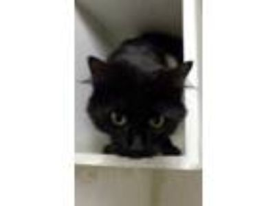 Adopt Pepper a All Black Domestic Mediumhair / Domestic Shorthair / Mixed cat in