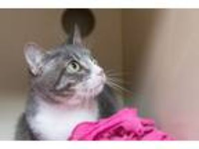 Adopt Molokai a Domestic Short Hair, Tabby