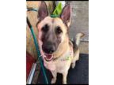 Adopt Girlie a Tan/Yellow/Fawn - with Black German Shepherd Dog / Mixed dog in