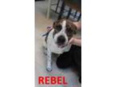 Adopt rebel a White Labrador Retriever / Mixed dog in Franklin, NC (21423861)