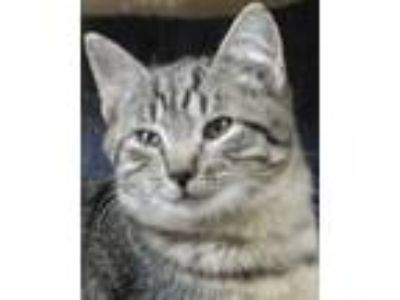 Adopt Tiger a American Shorthair