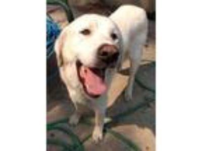 Adopt Merlin a White Akbash / Mixed dog in Logan, UT (22765786)