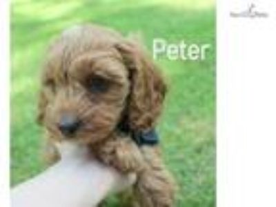 Beautiful F1 Cavapoo Puppy Available!