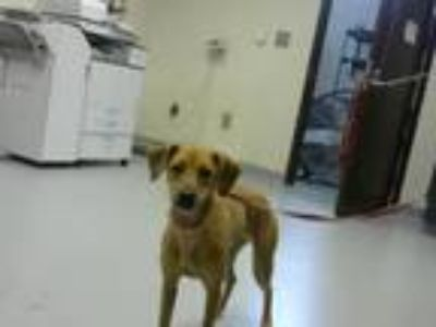 Adopt A315857 a Whippet, Mixed Breed