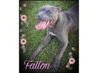Adopt Fallon a American Staffordshire Terrier / Mixed dog in Hartford City