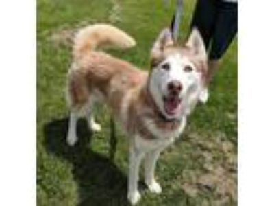 Adopt Vanessa a Red/Golden/Orange/Chestnut - with White Siberian Husky / Mixed