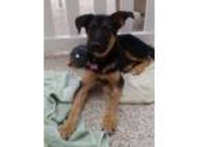 Adopt Nala a Black - with Brown, Red, Golden, Orange or Chestnut Shepherd