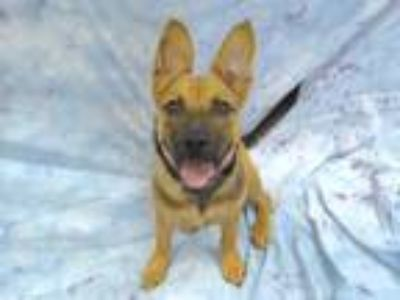 Adopt J.K. Howling a German Shepherd Dog