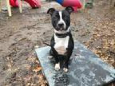 Adopt Radcliff a Black - with White Pit Bull Terrier / Mixed dog in Armonk