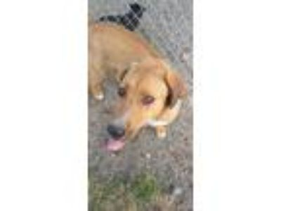 Adopt Rose a Labrador Retriever, Hound