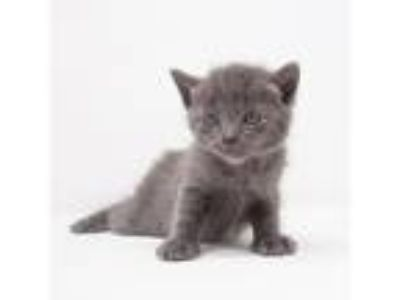 Adopt Arwen a Gray or Blue (Mostly) Domestic Shorthair / Mixed (short coat) cat