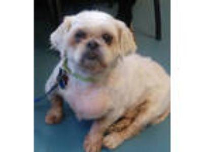 Adopt Scruffy a Pekingese