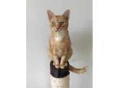 Adopt Leroy Jenkins a Orange or Red Domestic Shorthair / Domestic Shorthair /