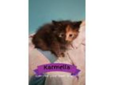Adopt Karmella a Brown or Chocolate (Mostly) Domestic Shorthair (short coat) cat