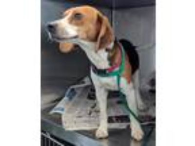 Adopt SNOOPY a Tricolor (Tan/Brown & Black & White) Beagle / Mixed dog in San