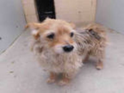 Adopt a Tan/Yellow/Fawn Cairn Terrier / Mixed dog in Goleta, CA (25932194)