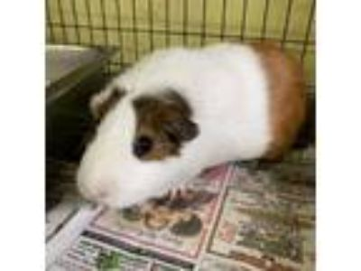 Adopt Rocket a White Guinea Pig / Mixed small animal in Largo, FL (25894860)
