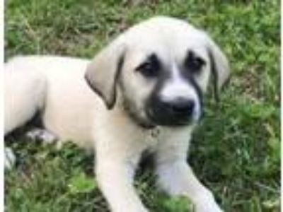 Adopt Belvedere a Great Pyrenees