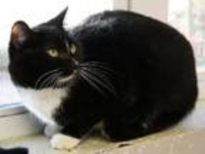 Adopt Blaze a Domestic Short Hair