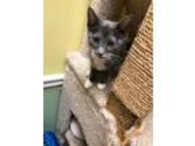 Adopt Abby a Gray or Blue (Mostly) Domestic Shorthair / Mixed cat in Margate