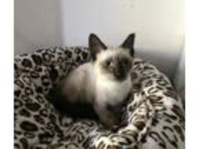 Adopt Pearl the Chocolate Point Siamese Kitten a Siamese