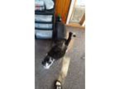 Adopt Mr nibbles a Black & White or Tuxedo Domestic Shorthair / Mixed cat in