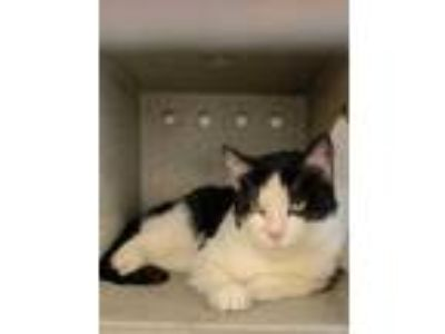 Adopt Marian a All Black Domestic Shorthair / Domestic Shorthair / Mixed cat in